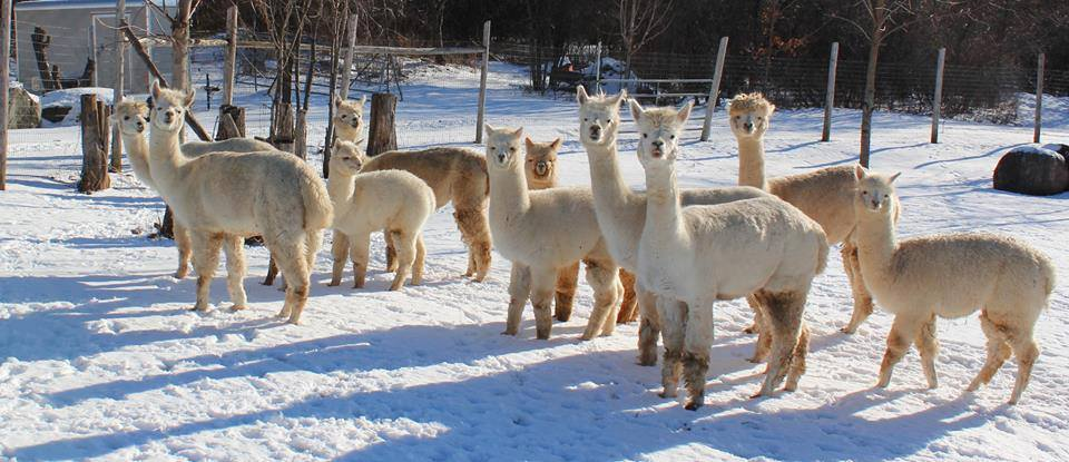 Christmas With The Alpacas